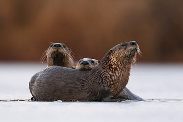 North American River Otter (Lontra canadensis) trio on ice, Muscatatuck National Wildlife Refuge, Indiana  -  Sean Crane