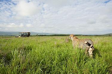 Cheetah (Acinonyx jubatus) and tourists, Lewa Wildlife Conservancy, Kenya  -  Sean Crane