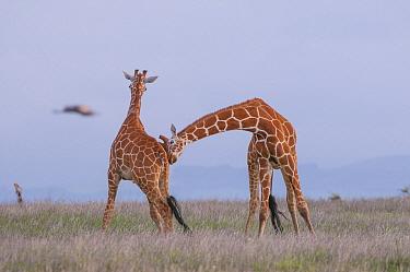 Reticulated Giraffe (Giraffa reticulata) males necking, Lewa Wildlife Conservancy, Kenya  -  Sean Crane