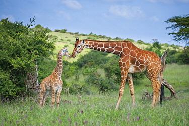 Reticulated Giraffe (Giraffa reticulata) mother greeting calf, Lewa Wildlife Conservancy, Kenya  -  Sean Crane