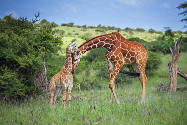 Reticulated Giraffe (Giraffa reticulata) mother nuzzling calf, Lewa Wildlife Conservancy, Kenya  -  Sean Crane