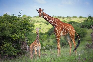Reticulated Giraffe (Giraffa reticulata) mother and calf, Lewa Wildlife Conservancy, Kenya  -  Sean Crane