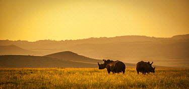 White Rhinoceros (Ceratotherium simum) pair at sunrise, Lewa Wildlife Conservancy, Kenya  -  Sean Crane