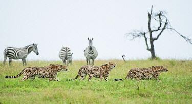 Cheetah (Acinonyx jubatus) males and Burchell's Zebra (Equus burchellii) group in background, Ol Pejeta Conservancy, Laikipia, Kenya  -  Sean Crane