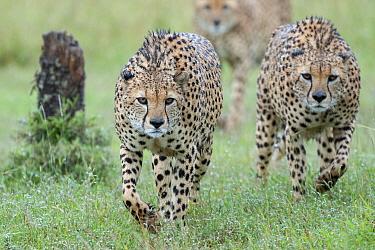 Cheetah (Acinonyx jubatus) males stalking, Ol Pejeta Conservancy, Laikipia, Kenya  -  Sean Crane