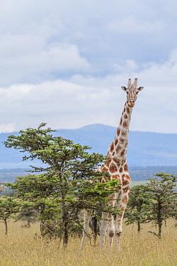 Masai Giraffe (Giraffa tippelskirchi) amidst acacia trees, Ol Pejeta Conservancy, Laikipia, Kenya  -  Sean Crane