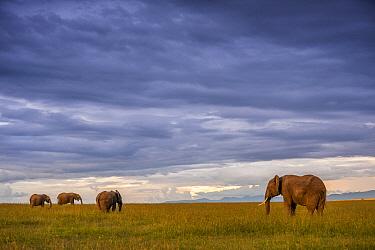 African Elephant (Loxodonta africana) group grazing at sunset, Ol Pejeta Conservancy, Laikipia, Kenya  -  Sean Crane
