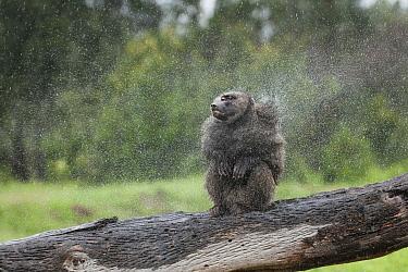 Olive Baboon (Papio anubis) shaking off rain, Ol Pejeta Conservancy, Laikipia, Kenya  -  Sean Crane