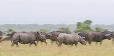 Black Rhinoceros (Diceros bicornis) pair and Cape Buffalo (Syncerus caffer) herd, Ol Pejeta Conservancy, Laikipia, Kenya  -  Sean Crane