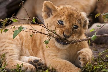 African Lion (Panthera leo) cub chewing branch, Masai Mara, Kenya  -  Sean Crane