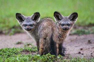Bat-eared Fox (Otocyon megalotis) pups, Masai Mara, Kenya  -  Sean Crane