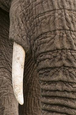 African Elephant (Loxodonta africana) trunk and tusk, Masai Mara, Kenya  -  Sean Crane