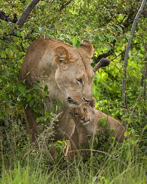 African Lion (Panthera leo) cub nuzzling mother, Olare Orok Conservancy, Masai Mara, Kenya  -  Sean Crane