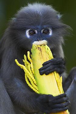 Dusky Leaf Monkey (Trachypithecus obscurus) juvenile feeding on palm inflorescence, Khao Sam Roi Yot National Park, Thailand  -  Anup Shah