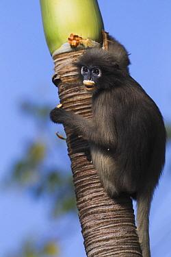 Dusky Leaf Monkey (Trachypithecus obscurus) juvenile in palm tree, Khao Sam Roi Yot National Park, Thailand  -  Anup Shah