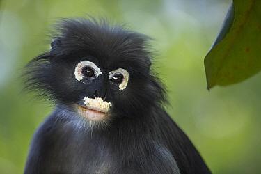 Dusky Leaf Monkey (Trachypithecus obscurus), Khao Sam Roi Yot National Park, Thailand  -  Fiona Rogers