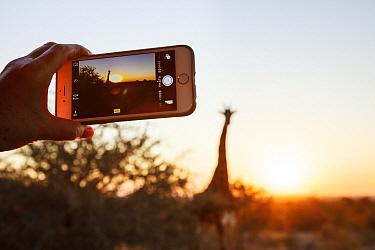 South African Giraffe (Giraffa giraffa giraffa) at sunset captured by tourist on cell phone camera, Kruger National Park, South Africa  -  Richard Du Toit