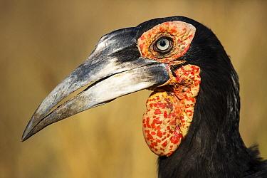 Ground Hornbill (Bucorvus leadbeateri), Kruger National Park, South Africa  -  Richard Du Toit