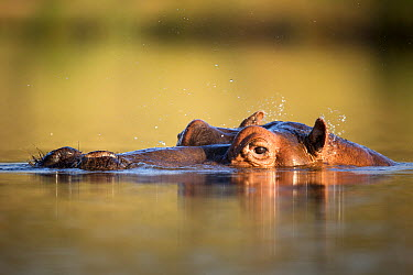 Hippopotamus (Hippopotamus amphibius) at waterline shaking water off its ears, Kruger National Park, South Africa  -  Richard Du Toit