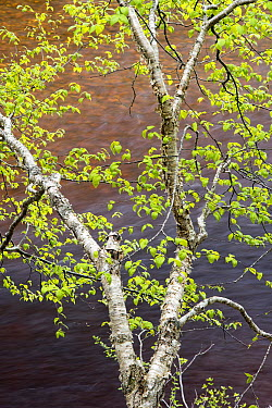 Paper Birch (Betula papyrifera) and river, Cape Breton Highland National Park, Nova Scotia, Canada  -  Scott Leslie