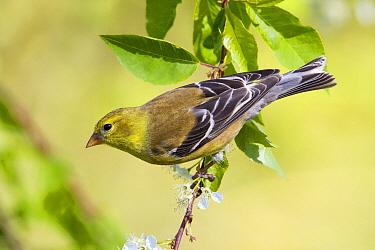American Goldfinch (Carduelis tristis) female, Maine  -  Scott Leslie