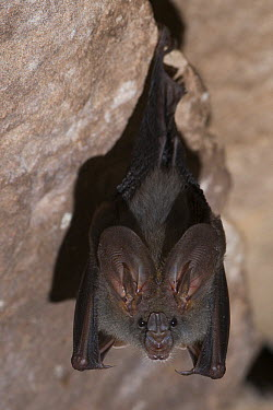 Lesser False Vampire Bat (Megaderma spasma) roosting, Siem Reap, Cambodia  -  Roland Seitre