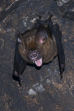 Great Roundleaf Bat (Hipposideros armiger) in defensive posture while roosting, Siem Reap, Cambodia  -  Roland Seitre