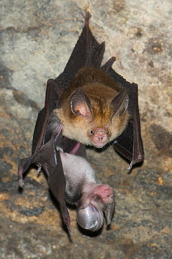 Ashy Roundleaf Bat (Hipposideros cineraceus) mother and young roosting, Siem Reap, Cambodia  -  Roland Seitre