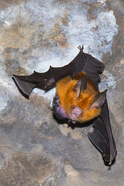 Pomona Roundleaf Bat (Hipposideros pomona) mother and young roosting, Siem Reap, Cambodia  -  Roland Seitre