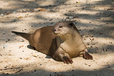 Indian Smooth-coated Otter (Lutrogale perspicillata), Cambodia  -  Roland Seitre