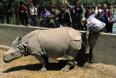 Indian Rhinoceros (Rhinoceros unicornis) urine collected by zookeeper to be sold as medicine, Kathmandu, Nepal  -  Roland Seitre