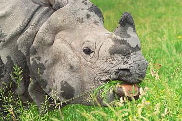 Indian Rhinoceros (Rhinoceros unicornis) grazing, Nepal  -  Roland Seitre