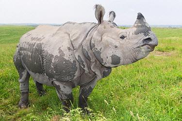 Indian Rhinoceros (Rhinoceros unicornis), Nepal  -  Roland Seitre