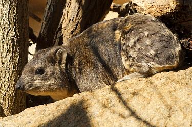 Rock Hyrax (Procavia capensis), Sudan  -  Roland Seitre