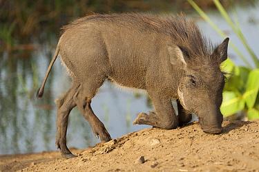 Warthog (Phacochoerus africanus) piglet foraging, Djoudj National Bird Sanctuary, Senegal  -  Roland Seitre
