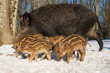 Wild Boar (Sus scrofa) mother with piglets in snow, Autreche, France  -  Roland Seitre