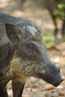 Wild Boar (Sus scrofa), Autreche, France  -  Roland Seitre