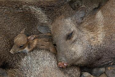 Collared Peccary (Pecari tajacu) piglet sleeping among adults, Machala, Ecuador  -  Roland Seitre