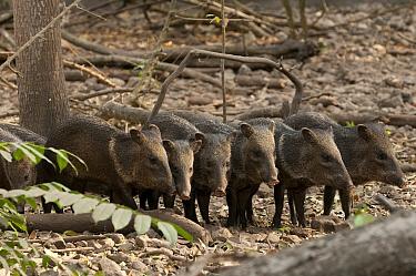 Collared Peccary (Pecari tajacu) piglets, Guayaquil, Ecuador  -  Roland Seitre