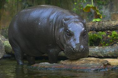 Pygmy Hippopotamus (Hexaprotodon liberiensis), Singapore Zoo, Singapore  -  Roland Seitre