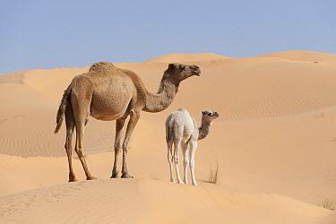 Dromedary (Camelus dromedarius) mother and ca, Jebil National Park, Sahara Desert, Tunisia  -  Roland Seitre