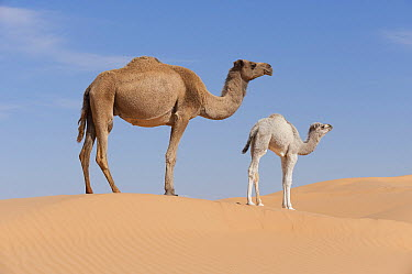 Dromedary (Camelus dromedarius) mother and calf in desert, Jebil National Park, Sahara Desert, Tunisia  -  Roland Seitre