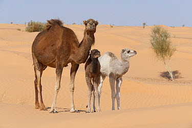 Dromedary (Camelus dromedarius) mother and calfs in desert, Jebil National Park, Sahara Desert, Tunisia  -  Roland Seitre