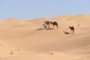 Dromedary (Camelus dromedarius) group in desert, Jebil National Park, Sahara Desert, Tunisia  -  Roland Seitre