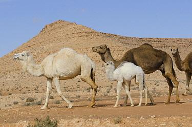 Dromedary (Camelus dromedarius) group in desert, Gafsa, Tunisia  -  Roland Seitre