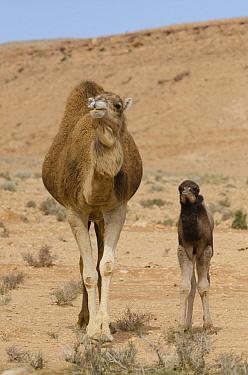 Dromedary (Camelus dromedarius) mother and calf, Gafsa, Tunisia  -  Roland Seitre