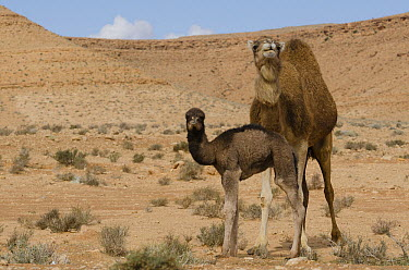 Dromedary (Camelus dromedarius) mother and calf in desert, Gafsa, Tunisia  -  Roland Seitre