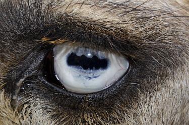 Dromedary (Camelus dromedarius) eye showing horizontal pupil, Tunisia  -  Roland Seitre