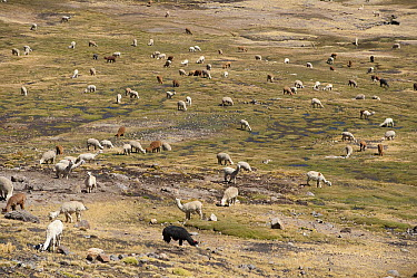 Alpaca (Lama pacos) herd grazing, Ayacucho, Peru  -  Roland Seitre