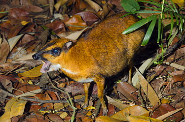 Greater Mouse Deer (Tragulus napu) in defensive posture, Singapore Zoo, Singapore  -  Roland Seitre